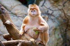 Goldener Affe auf Baum Lizenzfreies Stockfoto
