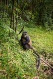 Goldener Affe im Vulkan-Nationalpark Lizenzfreie Stockfotografie