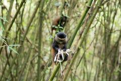 Goldener Affe im Vulkan-Nationalpark Stockbilder