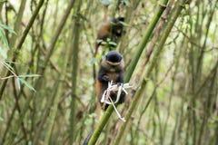 Goldener Affe im Vulkan-Nationalpark Lizenzfreie Stockfotos