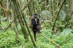 Goldener Affe im Vulkan-Nationalpark Stockfotografie