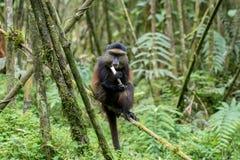 Goldener Affe im Vulkan-Nationalpark Lizenzfreies Stockbild