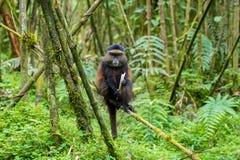 Goldener Affe im Vulkan-Nationalpark Stockfotos