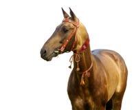 Goldener akhal-teke Stallion Lizenzfreie Stockbilder