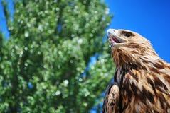 Goldener anstarrender Adler Stockfotografie
