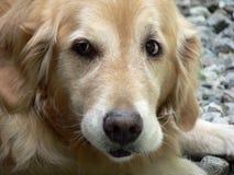 Goldener Apportierhund 1 stockfotos
