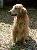Goldener Apportierhund 2 Lizenzfreies Stockfoto