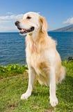 Goldener Apportierhund Stockbilder