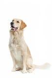 Goldener Apportierhund Stockbild