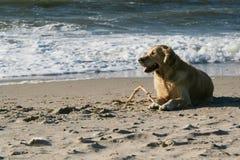 Goldener Apportierhund Lizenzfreies Stockfoto
