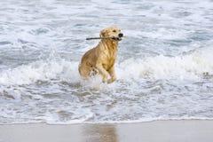Goldener Apportierhund stockfotografie