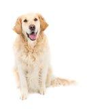 Goldener Apportierhund Lizenzfreie Stockfotografie
