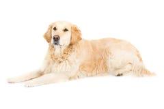 Goldener Apportierhund Stockfoto