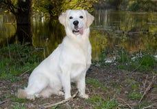 Goldener Apportierhund 6 Lizenzfreie Stockfotos