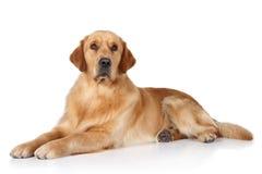 Goldener Apportierhund auf einem weißen Hintergrund Stockbild