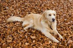 Goldener Apportierhund auf gefallenen Blättern Lizenzfreies Stockbild