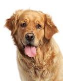 Goldener Apportierhund auf weißem Hintergrund Stockbild