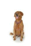 Goldener Apportierhund Brown Stockfoto