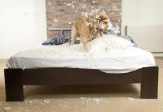 Goldener Apportierhund demoliert ein Kissen Lizenzfreies Stockbild