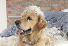 Goldener Apportierhund demoliert ein Kissen Stockfotografie