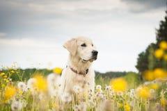 Goldener Apportierhund in den Blumen Stockfotografie