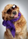 Goldener Apportierhund in den Sonnenbrillen Stockfotografie