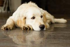 Goldener Apportierhund, der auf dem Fußboden liegt Lizenzfreies Stockfoto