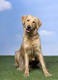 Goldener Apportierhund, der auf dem Gras (1, sitzt Einjahres) Stockfotografie