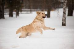 Goldener Apportierhund, der auf den Schnee läuft. Stockfotografie