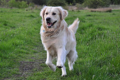 Goldener Apportierhund, der in Richtung zur Kamera läuft Lizenzfreie Stockfotografie