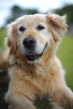 Goldener Apportierhund, der sich auf Gras hinlegt lizenzfreie stockfotos