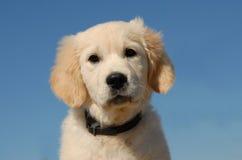 Goldener Apportierhund des Welpen Lizenzfreie Stockfotos