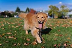 Goldener Apportierhund geht in Richtung zur Kamera Lizenzfreie Stockfotos