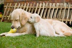 Goldener Apportierhund GR-Welpe, der seine Mutter riecht lizenzfreie stockbilder