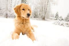 Goldener Apportierhund-Hund, der in den Schnee legt Stockfotos