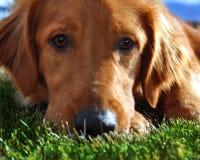 Goldener Apportierhund im Gras Stockfoto