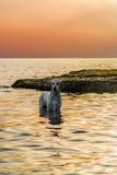 Goldener Apportierhund im Meer Stockfotos