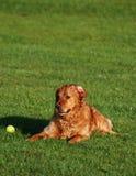 Goldener Apportierhund im Ruhezustand Lizenzfreies Stockbild