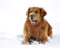 Goldener Apportierhund im Schnee. Glücklicher Hund. Stockfotografie