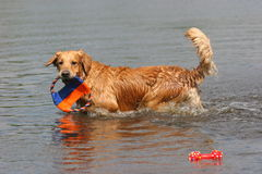 Goldener Apportierhund im Wasser Stockbilder