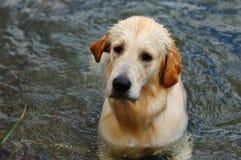 Goldener Apportierhund im Wasser Stockfotografie