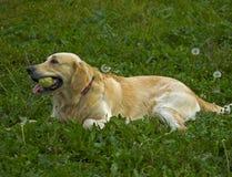 Goldener Apportierhund liegt auf dem Gras Lizenzfreie Stockbilder