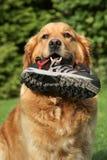 Goldener Apportierhund mit einer Matte in den Zähnen Stockfotos