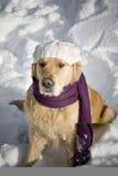 Goldener Apportierhund mit Schal lizenzfreie stockfotografie