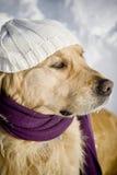 Goldener Apportierhund mit Schal stockfotografie