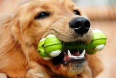 Goldener Apportierhund mit Spielzeug lizenzfreies stockfoto