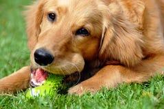 Goldener Apportierhund mit Spielzeug stockbilder