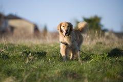 Goldener Apportierhund am Nachmittag Lizenzfreies Stockbild