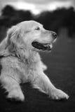 Goldener Apportierhund-Portrait stockfotografie