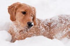 Goldener Apportierhund-Schnee-Welpe Stockfoto